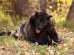 happy puppy black wolf