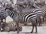 zebras,herding
