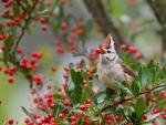 Waxwing with a red fruit