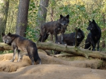 pack of black wolves