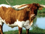 longhorn-cattle
