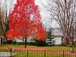 Little Red Autumn Tree