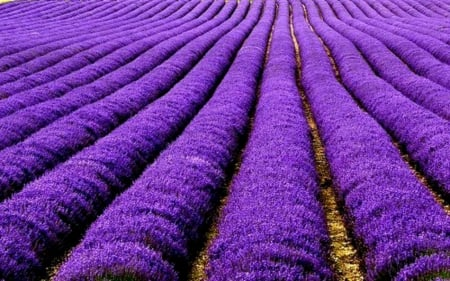 Lavender as far as eye can see - lavender, nature, fields, lavender fields