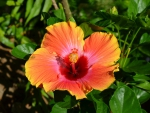 beautiful hibiscus tropical flower