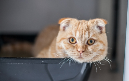 Scottish Fold - scottish fold, orange, ginger, cat, animal