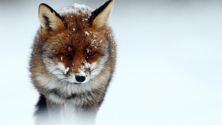 cold fox - snow, foxes, animals, winter, cold