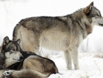 snow_wolves