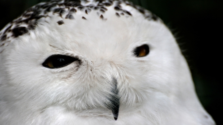 white owl - predator, perfection, bird of prey, white, nocturnal habits, animal