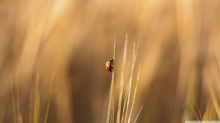 Real ladybug - grass, bugs, HD, ladybug, wallpaper, macro, wild, wildlife, nature, field, animals