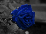 Just a blue rose