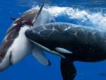 great white vs killer whale