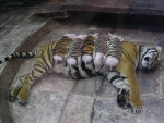 Tiger with baby piglets