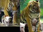 Tiger with baby piglets # 2