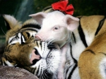 Tiger with baby piglets #3