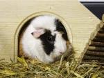 guinnee pig