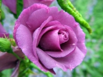 Purple Rose ♥