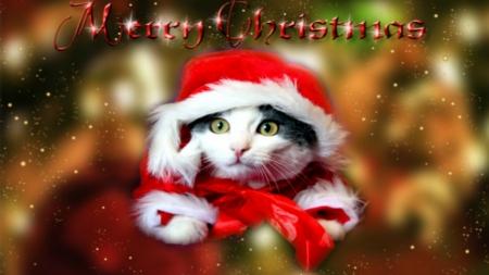 cat on christmas christmas greetings christmas merry - Merry Christmas Cat