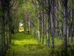 Birch wood forests