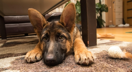 German shepherd - pretty, lovely, playful dog, playful, beautiful, sweet, dog face, cute, puppies, face, animals, dogs, puppy