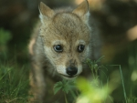 a little wolf cub