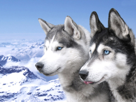husky wolves - nature, animals, dogs, husky