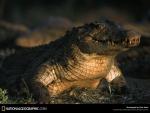 large croc
