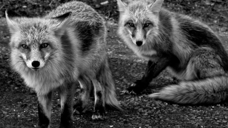 grayscale foxes_ - foxes, national geographic, grayscale, wallpaper
