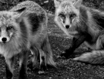 grayscale foxes_