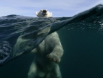 _ polar bears