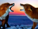 ___foxes