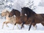 __norwegian horses