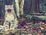 _snow leopards