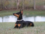 My Doberman