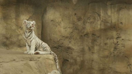 white tiger baby - special, tigers, white tiger baby, beautiful, predator, jungle, photoshop, camaflauge, animals