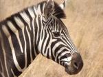 Rhino and Lion Park Bright Black and White Zebra