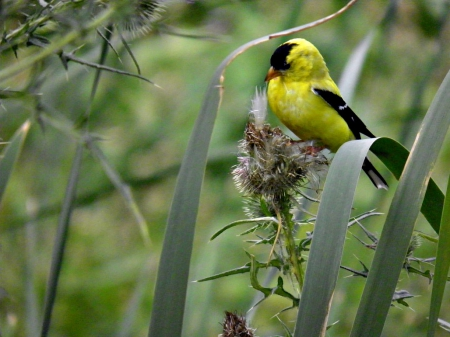 yellow finch - foilage, birds, yellow, nature, finch