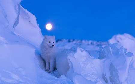 Fox - nature, Foc, artic, snow