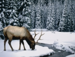 Elk in the Snow!