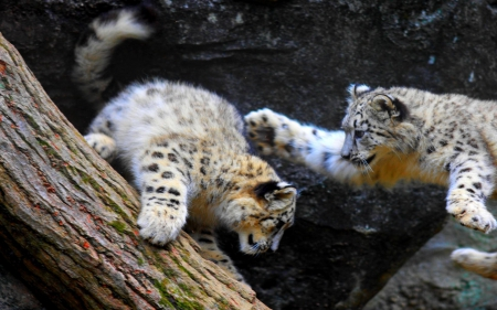 Baby Snow Leopards Cats Animals Background Wallpapers On Desktop
