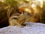 *** Chipmunk ***