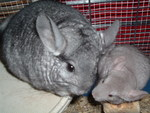 Chinchilla baby kissing mum