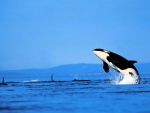 orca leaping out of the sea