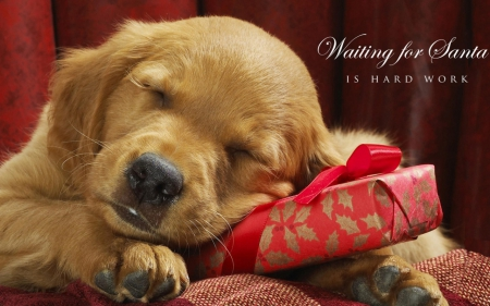 Waiting for Santa - nose, present, lovely, sleep, christmas, gift, sleeping, animal, paws, face, fur, dog