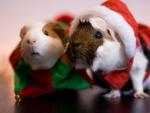 Santa Guinea Pigs