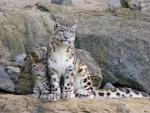Gorgeous Snow Leopards