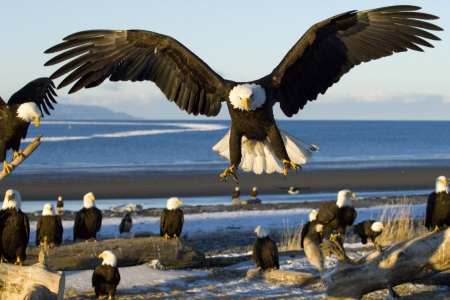 Proud Species - beach, eagles, bald eagle, ocean, birds, wildlife, animals, sea