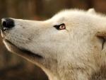 awakening wolves