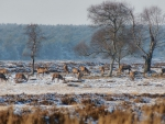 deer grazing on a frosty winter morning