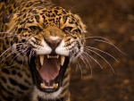 the fierce jaguar
