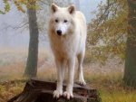 proud white wolf